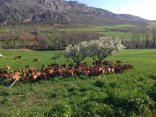 ganaderia agropecuaria del rey cabra
